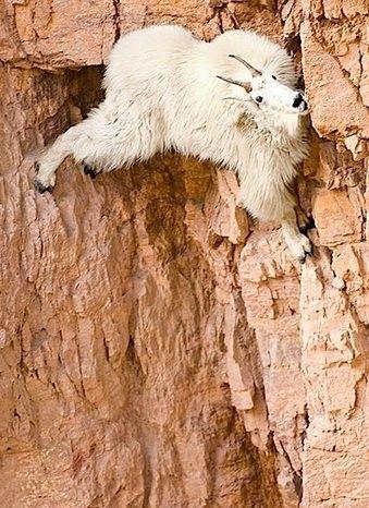 Cabras de Montañas vs. Gravedad